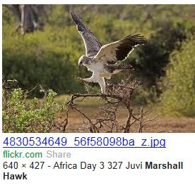 marshall hawk  picture