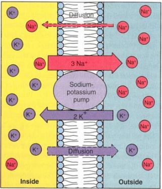 korea potassium dmz